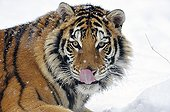 Siberian tiger tongue out