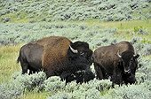 Male bison evaluating the receptivity of a female Yellowston