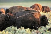 Bison evaluating the receptivity of a female Yellowstone USA