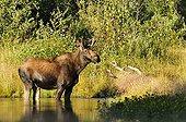 Elan mâle dans l'eau dans le PN de Yellowstone USA