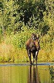 Elan mâle marchant dans l'eau dans le PN de Yellowstone