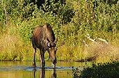 Elan mâle en train de boire PN de Yellowstone USA