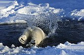 Polar bear diving into the water Sweden ; Swedish center of protection of endangered carnivores