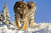 Siberian tiger male and female in the snow ; Swedish center of protection of endangered carnivores