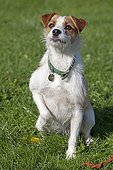 Portrait of a terrier Nellie a kennel in Cheltenham UK
