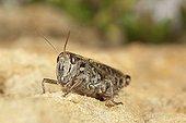 Italian Locust on ground Burgundy France