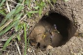 Common wasps in flight in their nest Burgundy France