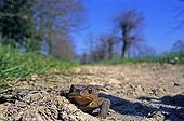 European toad France