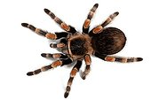 Mexican redknee tarantula on white background ; Origin: Mexico