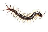 Barbados Giant Centipede on white background ; Origin: Asia