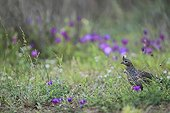 Scaled quail in desert flowers South Texas USA