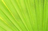 Desert fan palm