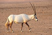 Arabian Oryx in the desert Sir Bani Yas Abu Dhabi ; Anantara, Thai hotel chain, has settled in Abu Dhabi on Sir Bani Yas Island. His Desert Island Resort has implemented a program to save some endangered species like Blackbuck. Safaris are arranged for hotel guests and visitors.