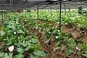 Anthurium culture in shade Mauritius ; In the vicinity of Grand Bassin, planting St. Aubin was founded in the 19th century. It produces sugar cane, rum, vanilla and flowers such as anthuriums