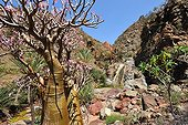 Socotra Desert Rose Socotra Yemen ; The rose tree can be find near the sea but also in altitude.