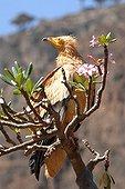 Egyptian vulture on Desert Rose Socotra Yemen
