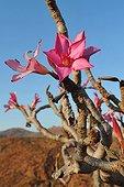 Socotra Desert Rose in bloom Yemen Socotra Island