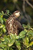 Snail kite immature on a branch Pantanal Brazil