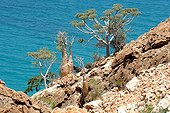 Desert Rose tree Socotra Yemen ; The rose tree can be find near the sea but also in altitude.