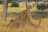 Dwarf mongooses on the mound housing the group Kenya
