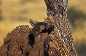 Dwarf mongoose on the mound housing the group Kenya