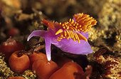 Spanish shawl nudibranch in the Pacific Ocean USA
