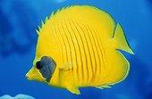 Bluecheek Butterflyfish in red sea Egypt