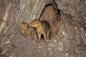Dwarf mongoose female recalling a young in the burrow Kenya ; 6_The last unwise outside will be urged to join her siblings inside.