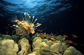 Lionfish hunting of red Barbers Egypt