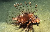 Red Lionfish in the Red Sea in Egypt