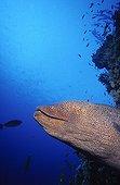 Murène javanaise à l'affût en Mer Rouge en Egypte
