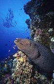 Murène javanaise à l'affût dans le récif Mer Rouge en Egypte