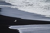 Gull on the beach of black sand Dyrhólaey Iceland
