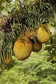 Jackfruits on the tree New Caledonia