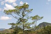 Flowering of a rainforest Elaeocarpus in N Caledonia