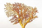 Coral semi-precious in studio ; Private Collection Christiane Revercé. Certified natural color.
