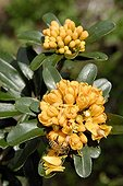 Pittosporum flowers in a park in Noumea New Caledonia ; Species present in the wild on the island Leprédour only. Species replanted in the Zoological and forest Park in Noumea.