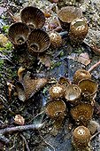 Fluted bird's nests in undergrowth  Catalonia  Spain