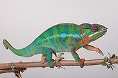 Male panther chameleon on a white background