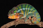 Male panther chameleon on a black background