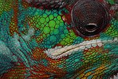 Portrait of Male panther chameleon