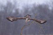 Western Buzzard flying from one branch in winter France