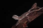 Bearded dragon on a branch on a black background