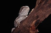 Portrait of Bearded dragon on a branch on a black background