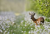 Young stag in a field of Dandelions France
