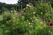 Dahlia and rose-trees in bloom in a garden