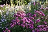 Aster in bloom in a garden