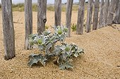 Seaside Eryngo growing at the foot of ganivelles Britain