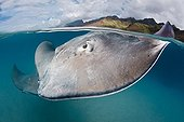 Pink whipray swimming in a lagoon French Polynesia