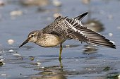 Red Knot on the foreshore stretching Britain France